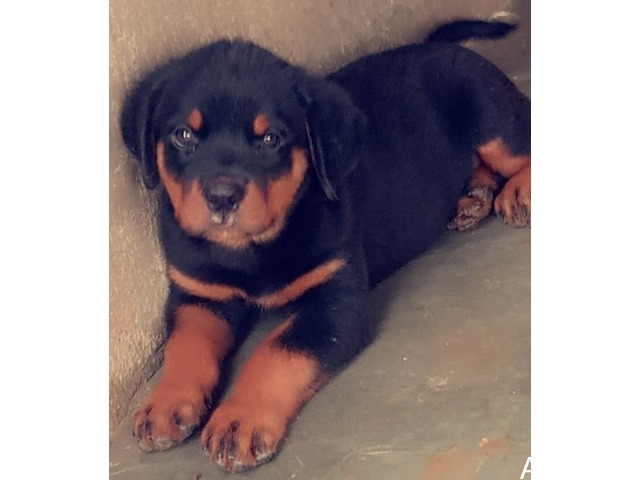 pure breed rottweiler puppies for sales - 1