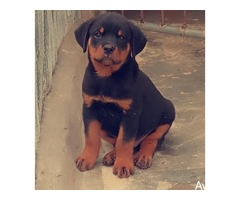 pure breed rottweiler puppies for sales - Image 2