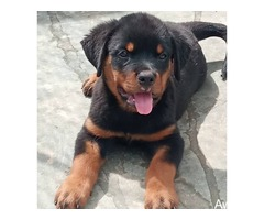pure breed rottweiler puppies for sales - Image 3