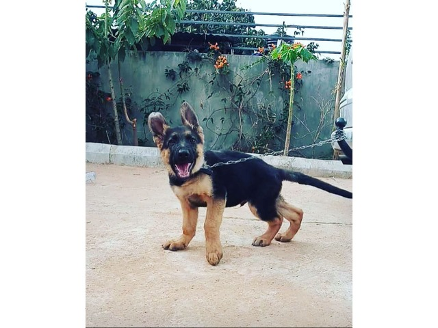 pure breed german shephard puppies for sales - 2