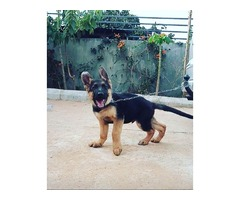 pure breed german shephard puppies for sales - Image 2